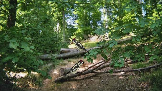 """""""Schwester Buche und Bruder Specht"""" im Wildnisgebiet Siebengebirge"""